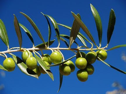 El olivo en la mitología y la cultura griega