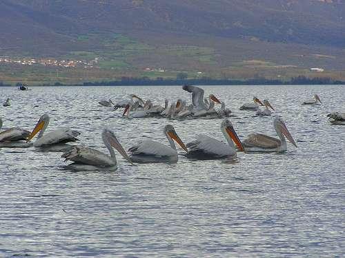 Pelícanos en Serres